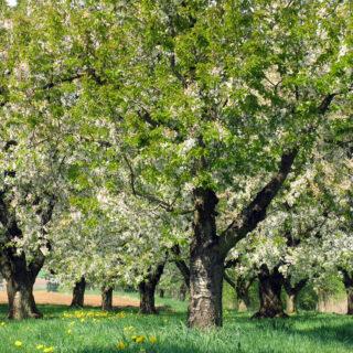 Kirschen aus der Fränkischen Schweiz