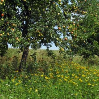 Obst von Streuobstwiesen aus Oberfranken