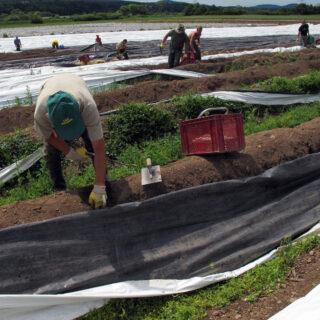 Spargel aus oberfränkischem Anbau