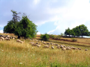 Landwirtschaft in Oberfranken - Lämmer, Schafe und Frankenvieh