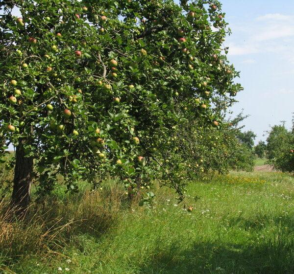 Lauf bei Zapfendorf: Ein Blick ins Paradies - die Obstsortenanlage Lauf