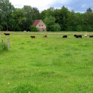 Walsdorf: Erlebnistour Aurachtalochsen